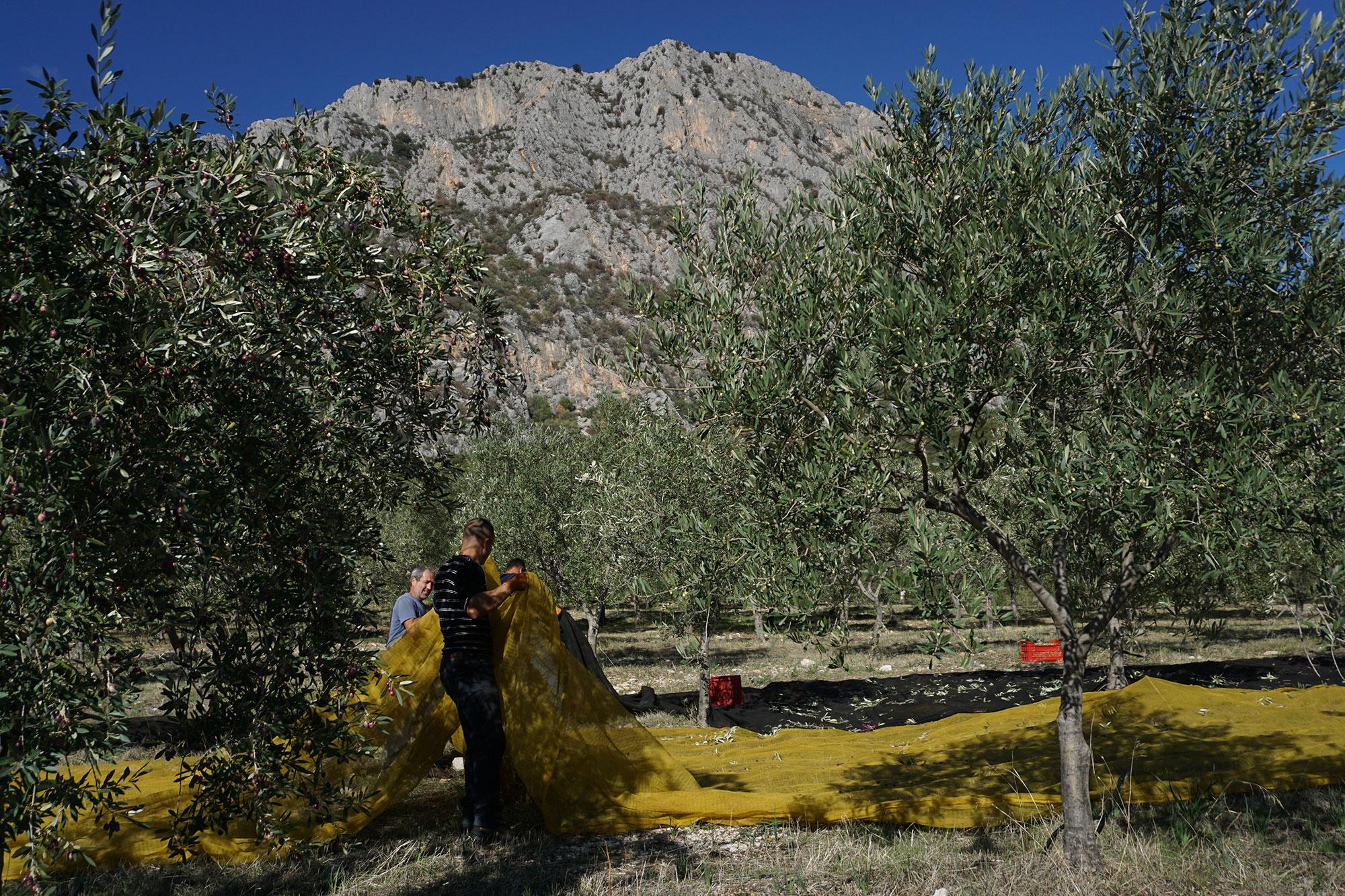 raccolta olive sardegna