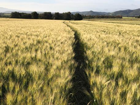 campo di grano sardegna