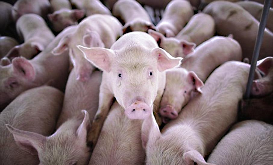 La PSA è stata debellata da due anni, ma la commissaria UE alla salute blocca la liberalizzazione del commercio di carni suine sarde. Le dichiarazioni di Copagri Sardegna