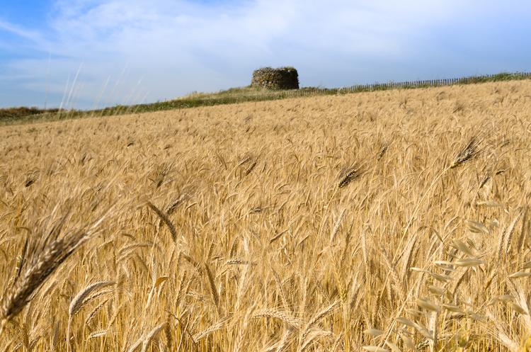 Speciale cerealicoltura in Sardegna. Diretta live  sulla pagina facebook di Copagri Sardegna venerdì 20 novembre