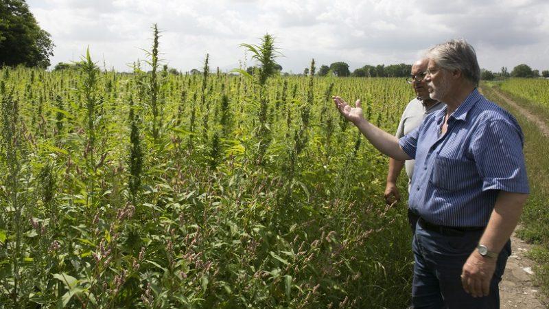 canapa coltivazione legale